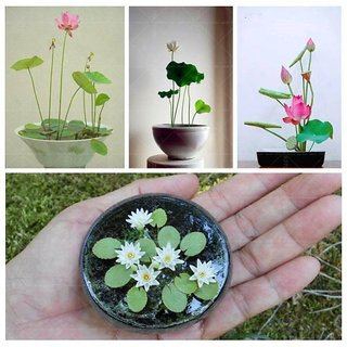 Flower Seeds  Aquatic Lotus (Mixed Colors) Flower Seeds 15 Seeds- Garden Flower Seeds Pack