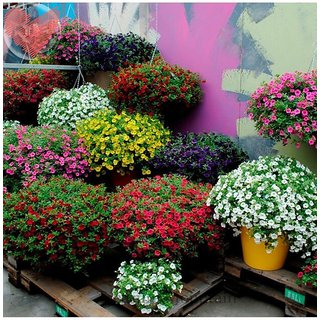 Flower Seeds  Petunia Best Pro Mix Flower Seeds Hybrid Perfect For Terrace/ Balcony/Any Small Space  Garden Plant Seeds