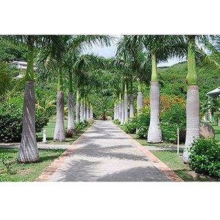 Royal Palm Roystonea Regia Tree Seeds