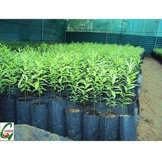 Sandalwood Tree Seeds pack