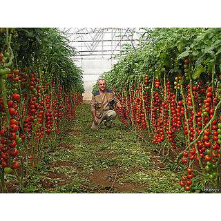 Tomato Seeds (rare seeds)