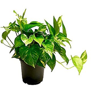Live 1 Money Plant -Lucky -Air Purifier -Good Luck - Balcony Plant - Pack In 1 Pot