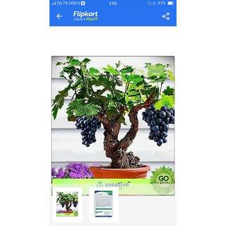 rare grapes bonsai seeds 10 per packet