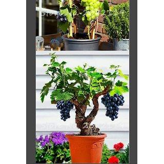bonsai grapes seeds per packet 10