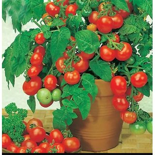 bonsai tomato seeds 20