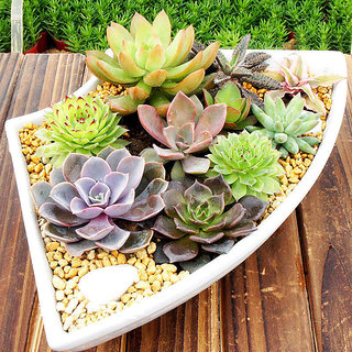 Mixed Rare Plant Exotic Succulent Seeds Flowering Living Stones Cactus 50 SEEDS