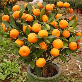 BONSAI ORANGE PLANT SEED (PACK OF 15 SEEDS)