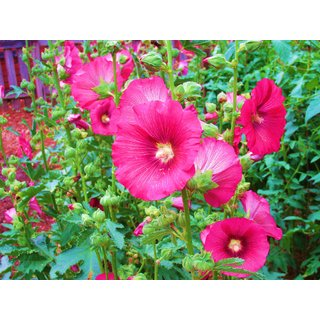 Holly Hock Flower Seeds Pack of 2