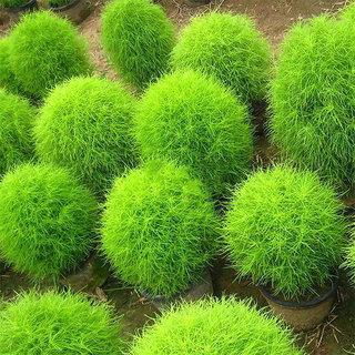 Rare Kochia Scoparia Grass Seeds Showy Grow Rapid Exotic Hardy Plant